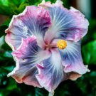 Blue Purple Hibiscus 20 Seeds