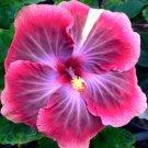 Pink Purple Hibiscus 20 Seeds