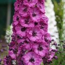 Pink Punch Delphinium Mix Seeds