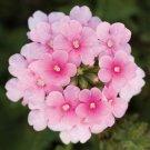 Light Pink Verbena Flower 50 Seed