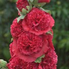 Double Rosey Red Hollyhock 25 Seeds