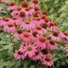 Pink Coneflower 50 Seeds