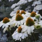 White Coneflower 50 Seeds
