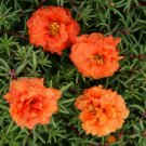 Double Dark Orange Moss Rose 50 Seeds
