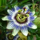 Blue Passion Flower Passiflora caerulea 10 Seeds