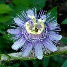 Wild Passion Flower Maypops Passiflora incarnata 10 Seeds