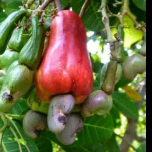 organic Cashew Nut Seeds 10 seeds