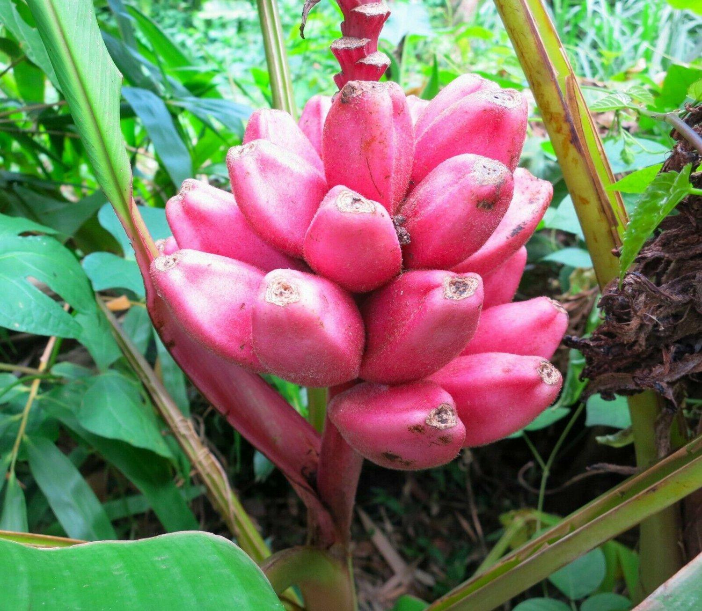 Pink Banana Musa velutina 10 Seeds