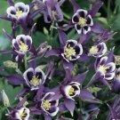 Purple White Columbine 50 Seeds
