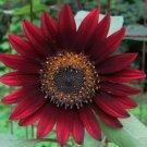 Velvet Queen Sunflower 25 Seeds