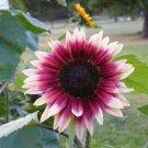 Cherry Rose Sunflower 25 Seeds