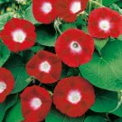 Crimson Red Morning Glory 20 Seeds