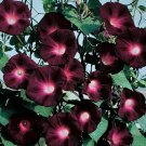 Black Knight Morning Glory 20 Seeds