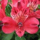 Bright Pink Alstroemeria Lily 20 Seeds