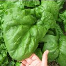 Spinach Winter Giant 25 Days 100 Seeds
