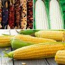 Corn Montana Multicolor Sugar Sweet Giant 25 Seeds