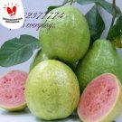 PUERTO RICAN SEEDS- WHITE PEAR GUAVA - FRESH 15 SEEDS