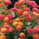 Pink Orange Verbena 50 Seeds
