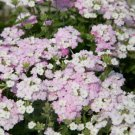 White Blush Verbena 50 Seeds