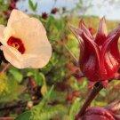 Hibiscus Sabdariffa Roselle 50 Seeds