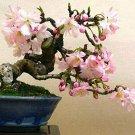 Japanese Flowering Cherry Blossom Bonsai 10 Seeds