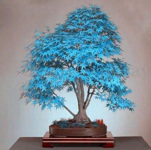 Bag bonsai blue maple tree 20 Seeds