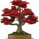 Red Japanese Maple Tree Bonsai 20 Seeds