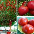 European Tomato Tree Giant 50 Seeds