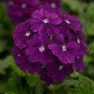 Dark Purple Verbena Flower 50 Seed