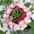 Red Twist Verbena Flower 50 Seed