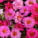 Double Pink Mix Moss Rose 100 Seeds