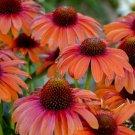 Orange Coneflower 50 Seeds