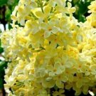 Yellow Lilac 25 Seeds