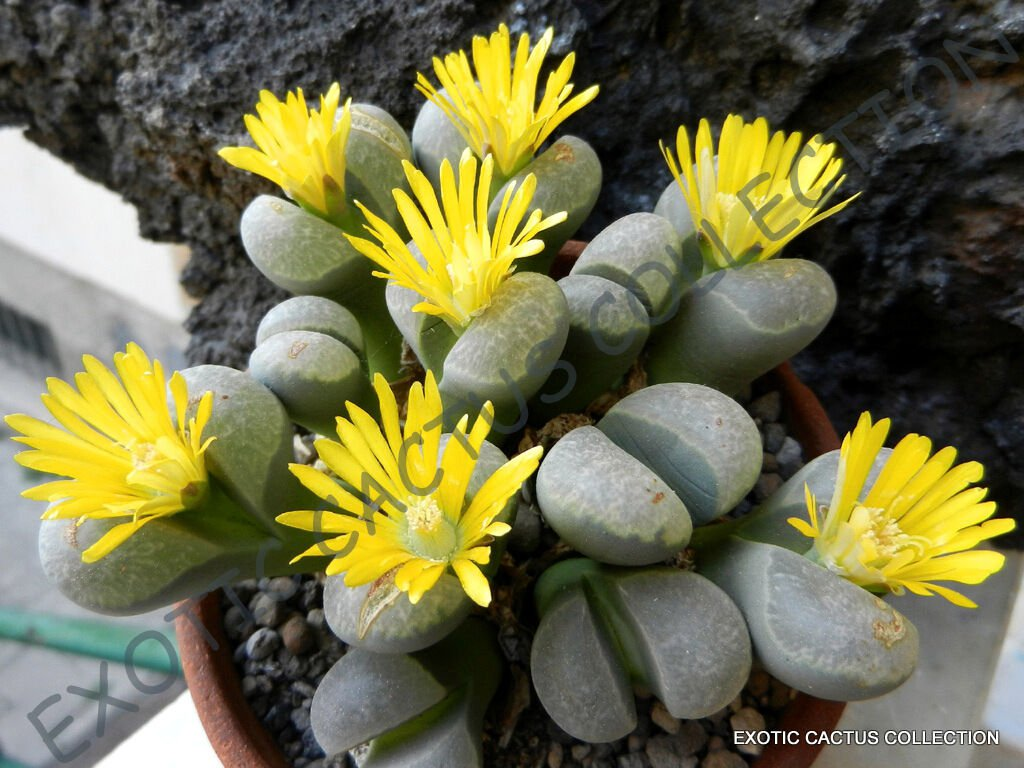 RARE LITHOPS HELMUTII living stones 15 Seeds