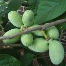 PAW PAW FRUIT TREE 6 Seeds