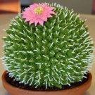 Rare African Cactus 50 Seeds