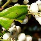 white indigoberry florida 10 Seeds