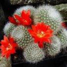 Rebutia Hyalacantha exotic 15 Seeds