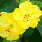 YELLOW Mirabilis Jalapa 5 Seeds