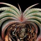 Aloe suprafoliata exotic 10 Seeds