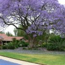 Exotic Purple Flowering Jacaranda Tree 10 Seeds