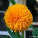 EXOTIC HELIANTHUS ANNUUS 10 Seeds