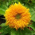 RARE HELIANTHUS ANNUUS 10 Seeds