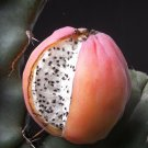 Cereus peruvianus MONTROSE night 30 Seeds