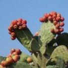 NOPAL RED FRUIT 20 Seeds
