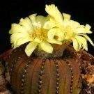 Frailea castanea exotic 25 Seeds