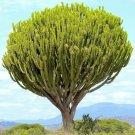 Euphorbia ingens candelabrum 5 Seeds