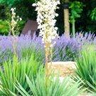 Yucca Filamentosa 15 Seeds
