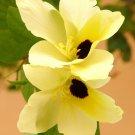Bauhinia Tomentosa 25 Seeds