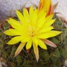 Matucana aureiflora 10 Seeds